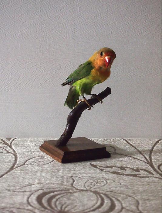 鳥の剥製 4 Perruche Personata