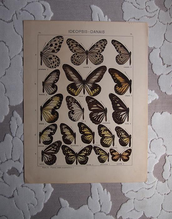 古い蝶のリトグラフ 4
