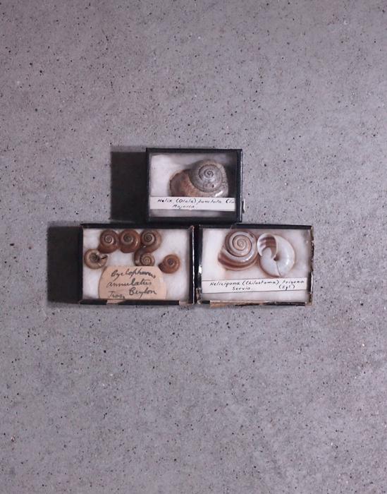 古い貝の標本3個