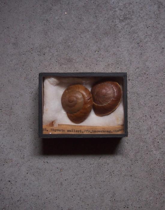 古い貝の標本 2