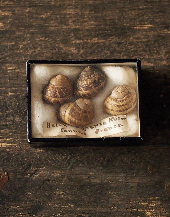古い貝の標本 5