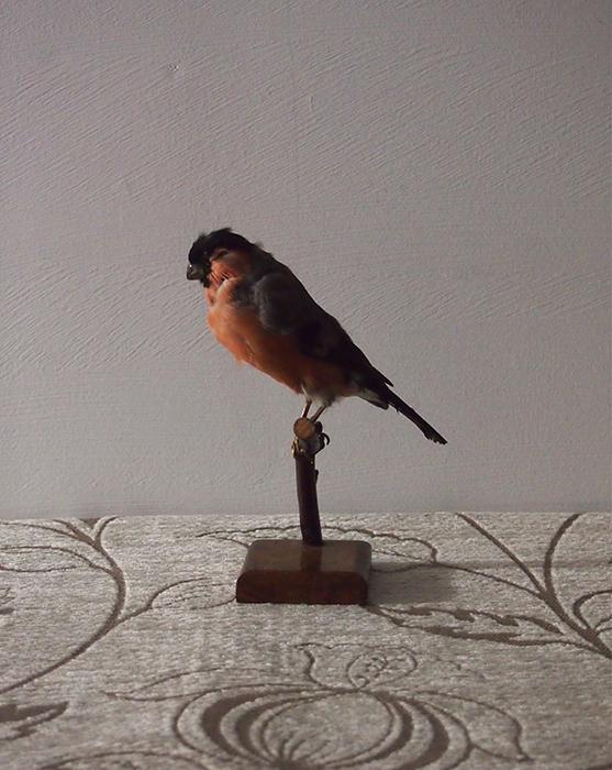 鳥の剥製 5 Bouvreuil