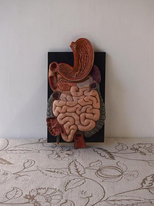 人体解剖模型 intestin 腸