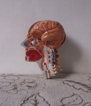 人体解剖模型 crane écorché 頭部