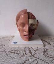 人体解剖模型 tête 頭部