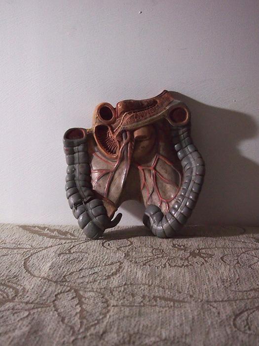 人体解剖模型 côlon 結腸