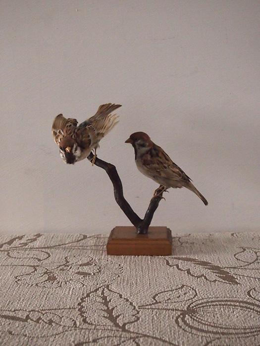 鳥の剥製 9 Moineau