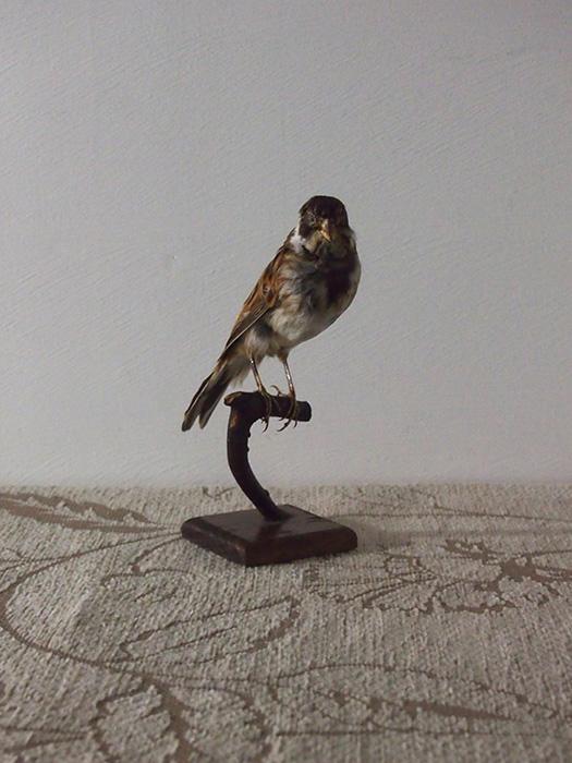 鳥の剥製 11 bruant