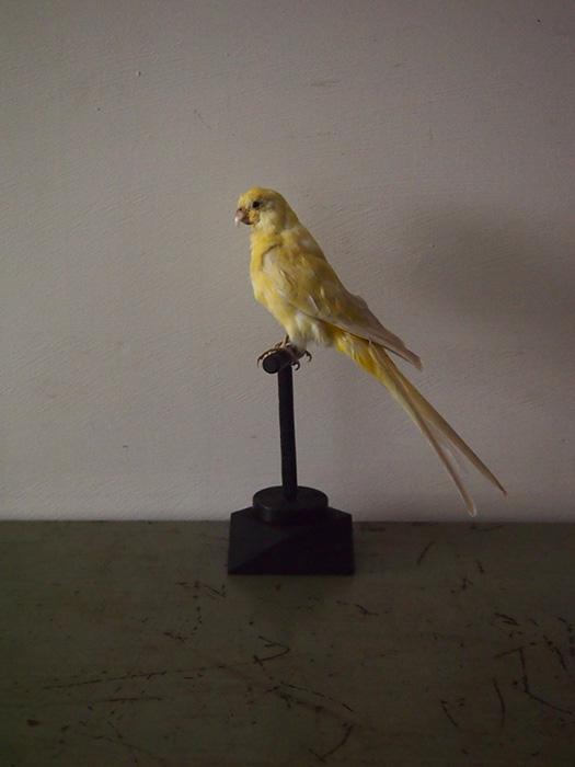 鳥の剥製 12 Perruche Letino