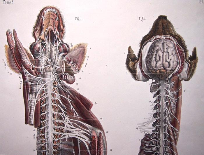 犬の解剖図 systeme nerveux du chien