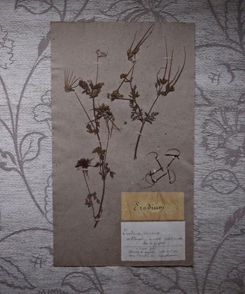 古い押し花 48 Erodium