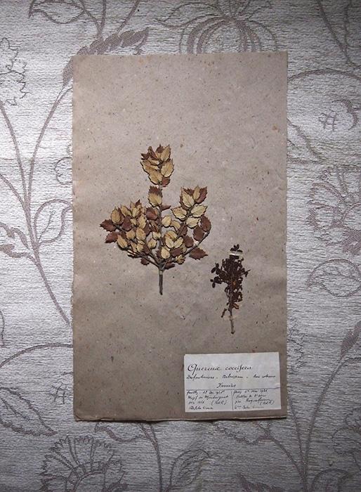 古い押し花 49 Quercus coccifera