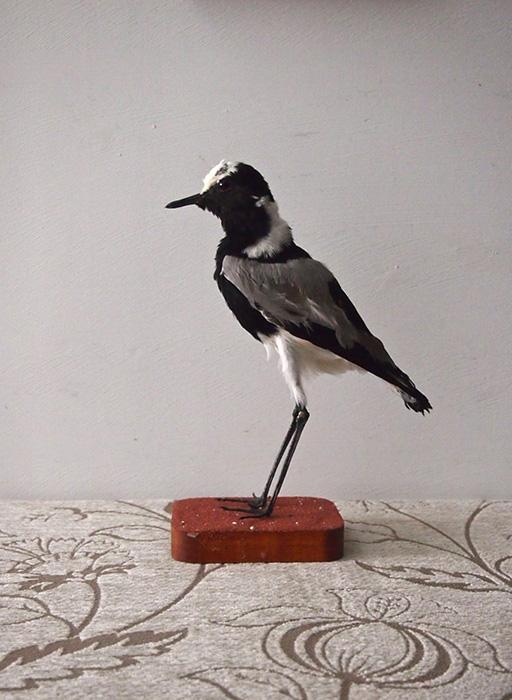 鳥の剥製 13 Vanellus Armatus