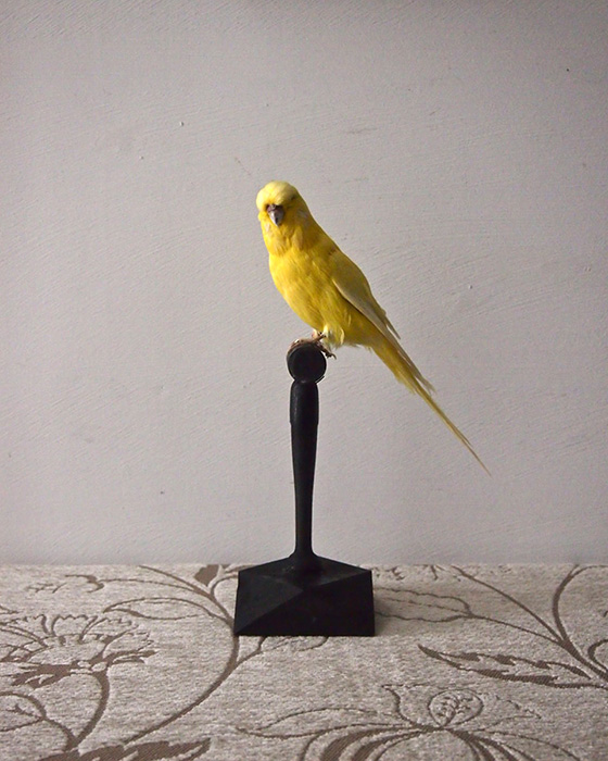 鳥の剥製 14 Perruche Letino 2