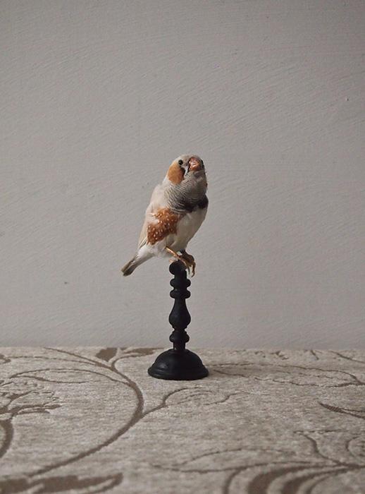 鳥の剥製 15 Diamant mandarin