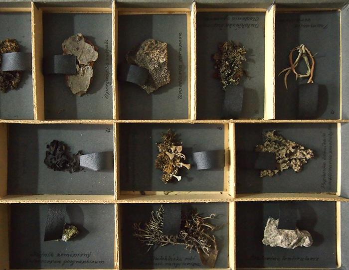 地衣類の標本 sbírka 25 druhú lišejníkå