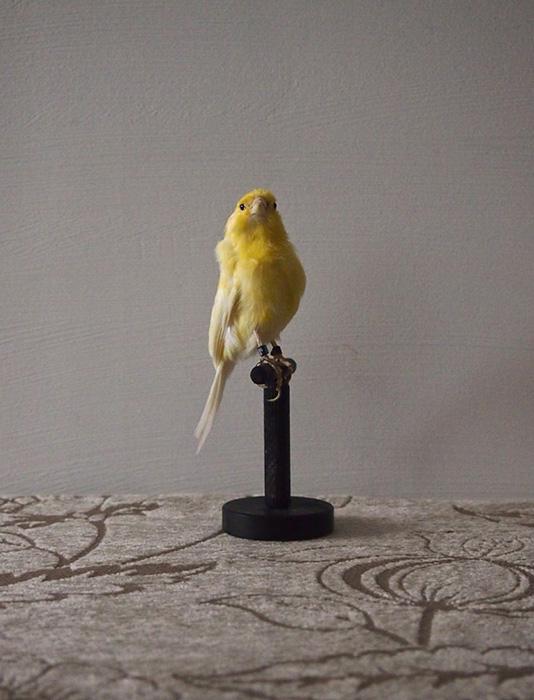 鳥の剥製 16 Serinus Canaria
