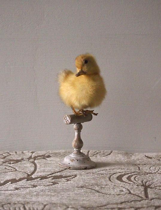 アヒルのヒナの剥製 canard  un petits