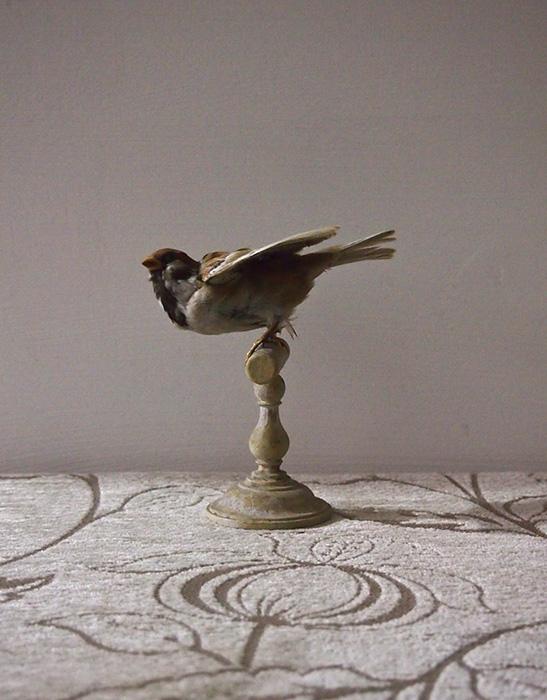 鳥の剥製 19 Moineau