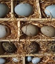 卵の標本 Les échantillons d'oeufs