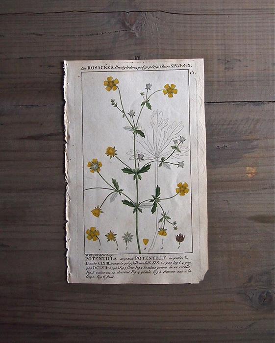 19世紀の植物版画 Potentilla