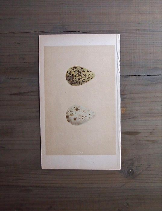 19世紀の鳥の卵の版画 1