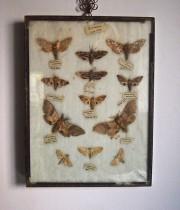 額入り蛾の標本