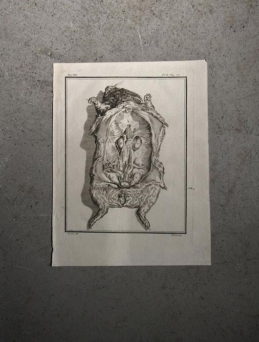 Anatomie de l'animal 3  guinée porcs