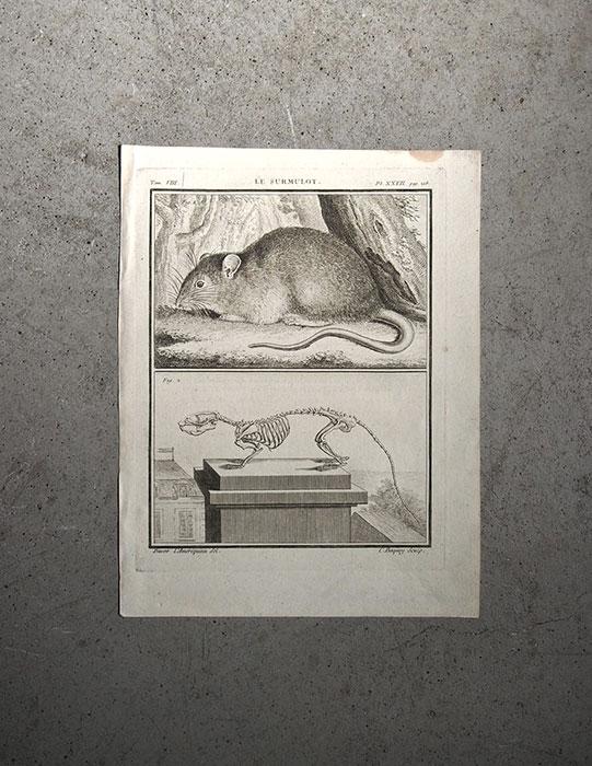 Anatomie de l'animal 2  le surmulot
