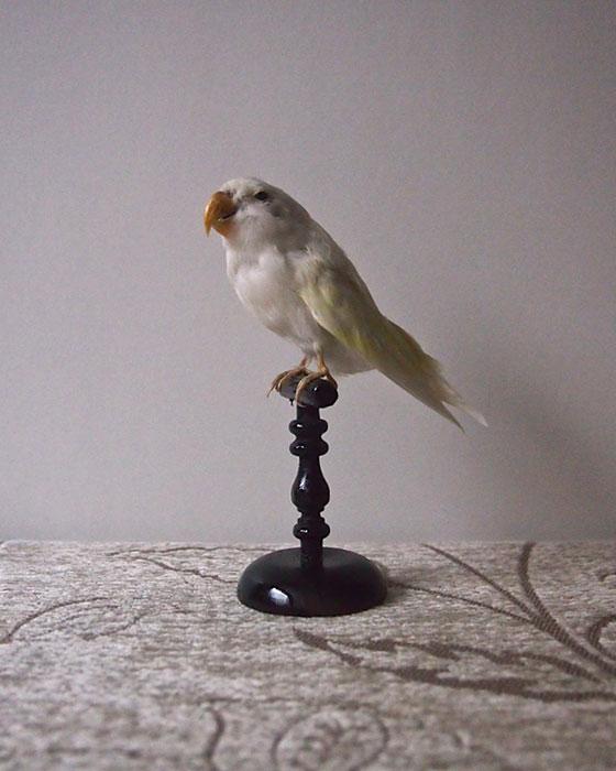 鳥の剥製 22  Perruche blanche