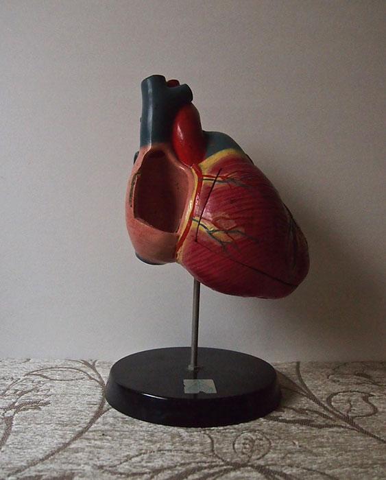 人体解剖模型  Modell des Herzens  心臓