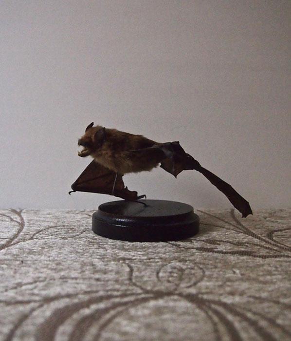 蝙蝠の標本  Spécimens de chauves-souris