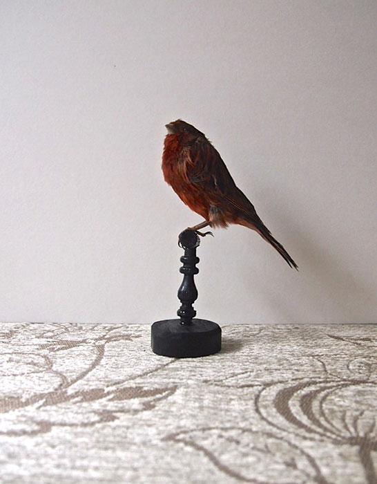 鳥の剥製 25 Bouvreuil du mexique X canari