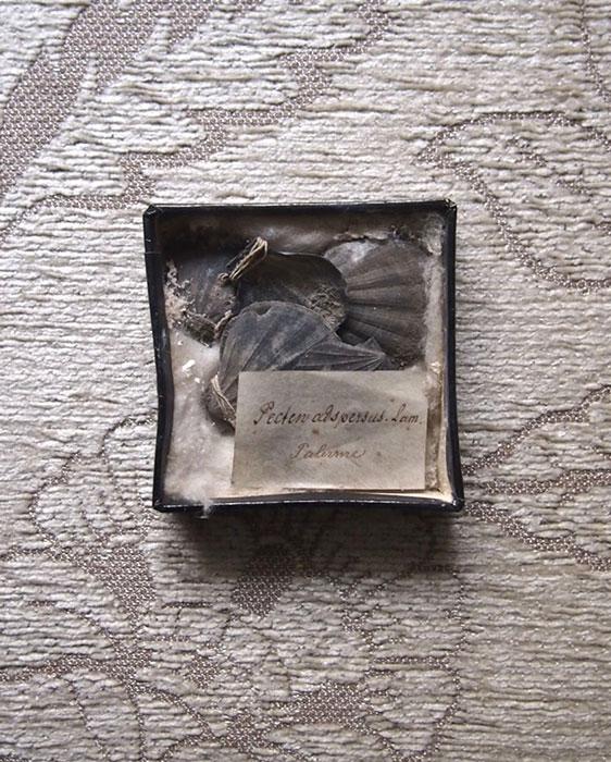 貝の化石の標本 2 Fossil des coquillages