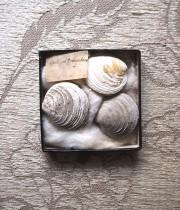 貝の化石の標本 4 Fossil des coquillages