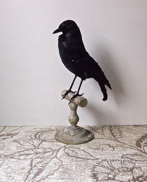 鳥の剥製 28  Corbeau