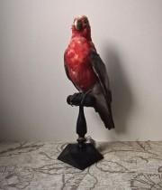 鳥の剥製 27  Eolophus