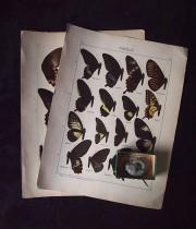 蝶のリトグラフと巻き貝の化石
