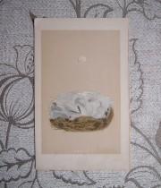 鳥の巣と卵の版画 2  Blue tit