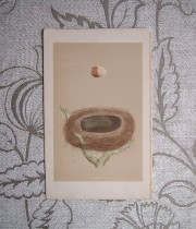 鳥の巣と卵の版画 1  Red backed shrike