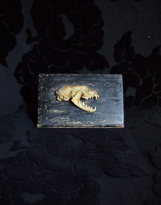 Crâne de la fouine イタチの頭蓋骨