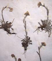 19世紀の押し花帳