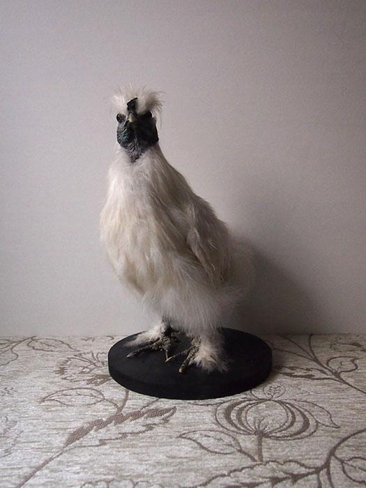 鳥の標本 30  Silkie