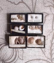 貝の標本6個セット 2