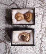 貝の標本2個セット