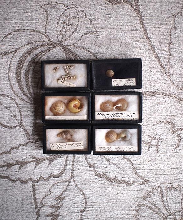 貝の標本6個セット