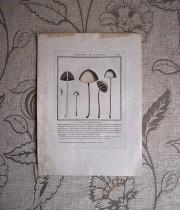 キノコの版画 17  L'agaric Papilionnacé