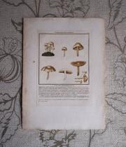 キノコの版画 19  L'agaric Mousseron Faux