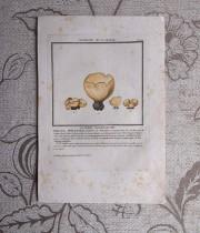 キノコの版画 20  La Péziza Couleur de Cire