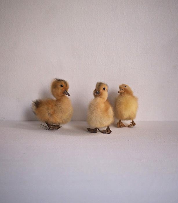 アヒルのヒナの剥製 canard un petits 3